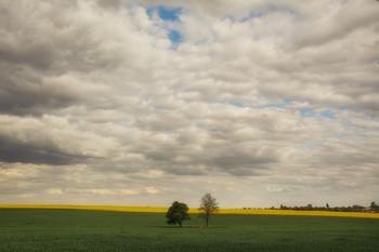 Две подружки / Два дерева одиноко стоящие среди полей рапса и ржи.
