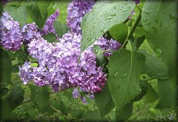 Сирень в дождь... / Ветка сирени под дождем...