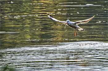 - Какая гадость эта ваша рыба! / Из наблюдений за чайками на берегу Днепра