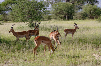 / Серенгети,Танзания