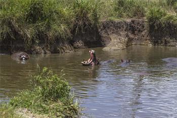 / Приехать в Серенгети и не увидеть бегемотов невозможно, потому что в этом парке есть это озеро. Бегемоты здесь занимают всю поверхность озера. И маленькие и большие. Большую часть времени они конечно неподвижны, главный аттракцион это если бегемот зевнет.
