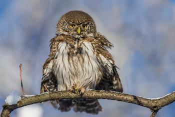 Надулся как сыч. / Сыч воробьиный (лат. Glaucidium passerinum) — очень маленькая сова, как и все представители рода воробьиных сычей. Длина его тела составляет  15—19 см, размах крыльев — 35—40 см, длина крыла — 9—11 см, вес — 55—80 г.