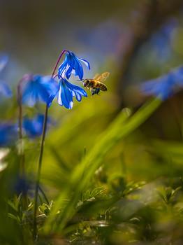 Пчела за работой / Сохранённое мгновение. Это была одна из самых сложных съёмок в моей практике. Я хотел заснять пчёл за процессом сбором пыльцы у пролесков. И при этом, снять этот момент интересно, по композиции с цветком, в идеале, чтобы пчела была в полёте.  Я находил подходящие для съёмки цветы и терпеливо ждал (лёжа, на уровне цветка), держа камеру в руках (со штатива не вариант). Постоянно в готовности, как охотник, так как, когда пчела подлетала к моему цветку, нужно было успевать снимать и не промазать с фокусом (все знают, как быстро двигаются пчёлы).  По итогу. 4 часа лёжа на земле. 1500 кадров. Из них только 200 кадров, там, где успел поймать пчёл в зону резкости. Из них 25 кадров, которые мне понравились по композиции, и как получились сами пчёлы. Но этот труд, того стоил – такие весенние мгновения – полные жизни, солнца и ярких красок и состоит наша жизнь!  Начало апреля 2021 г., Кочубеевский район.  Из фотопроекта «Открывая Ставрополье».