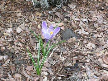 Взгляд с верху / Пришла весна и крокусы расцвели.