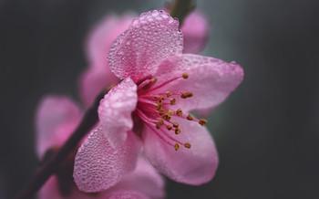 Цветение персика.. / ....