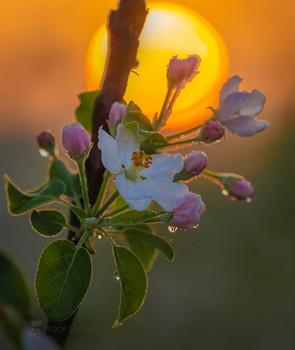 Пробуждение весны / Цветки яблони на рассвете. ООО Агроном Сад. Май, 2021 год. Лебедянский район, Липецкая область.