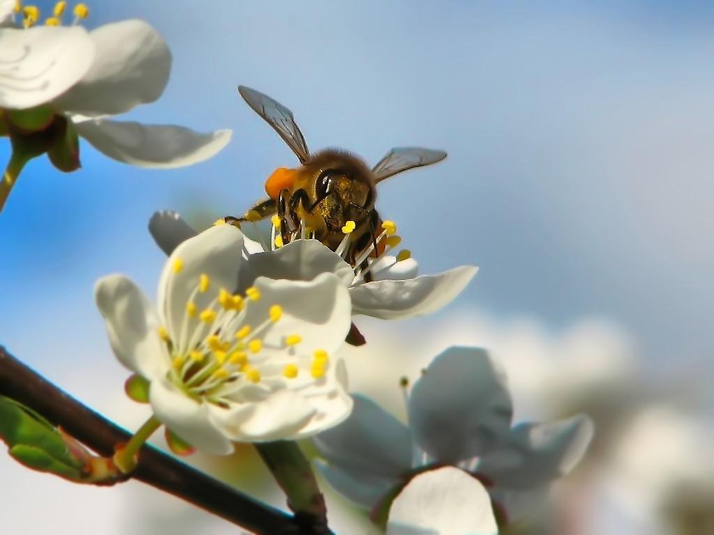 Пчела яблоки картинки