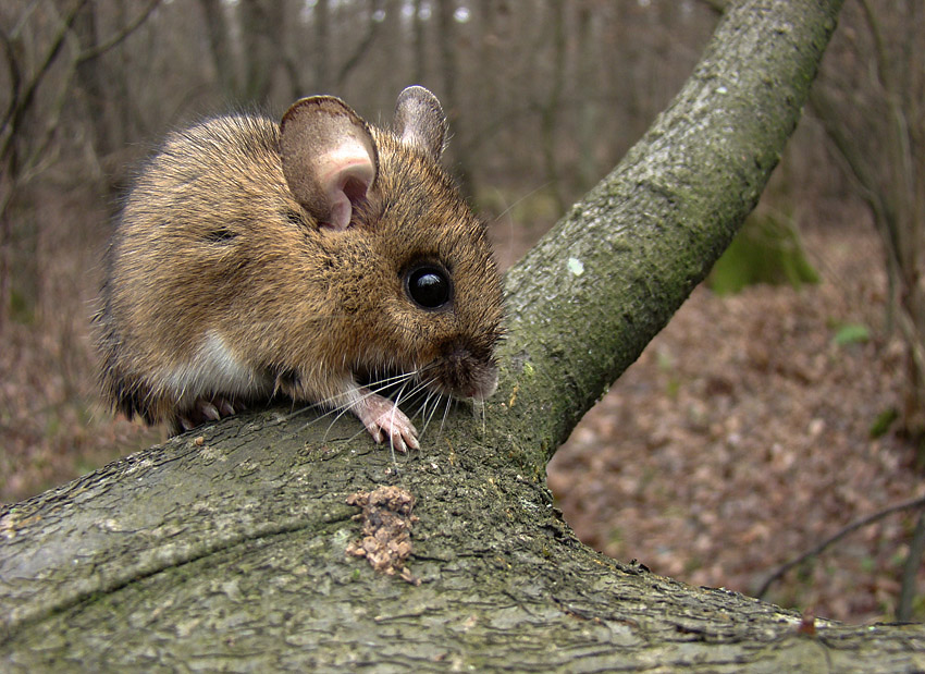 Картинки мыши в лесу