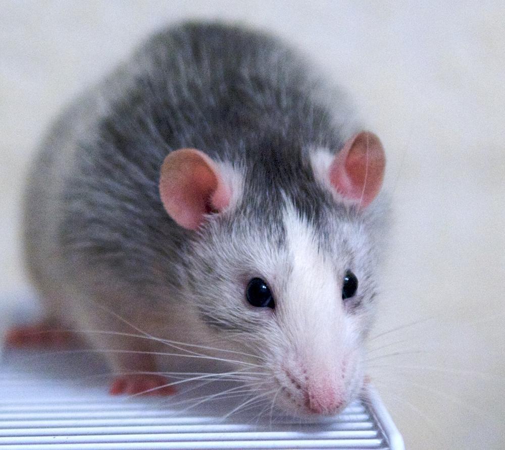Фото домашних крысят