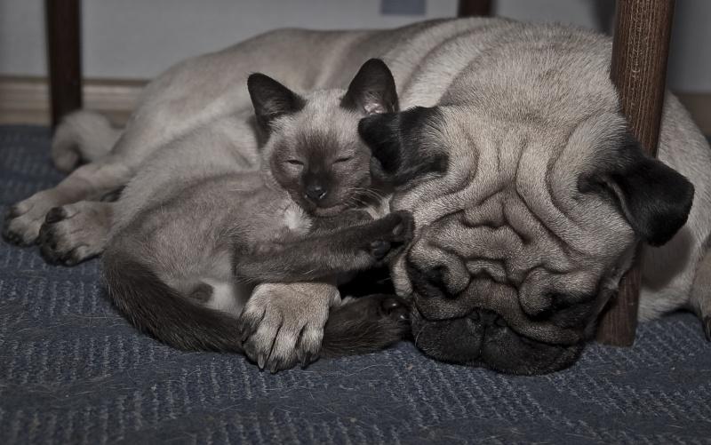 уголь мопсы и кошки картинки таиланде