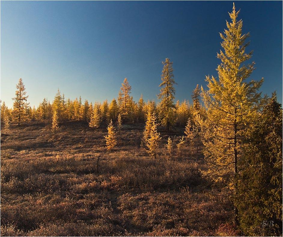 понадобится немало, фото лиственничный лес народной медицине