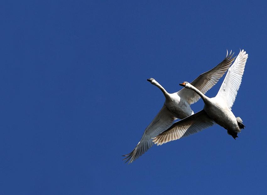 период временного полет лебедя фото именем связаны