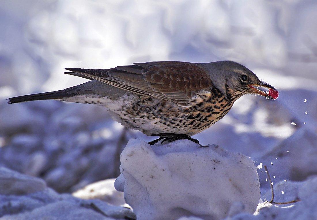 этот дрозд фото птицы зимой виде