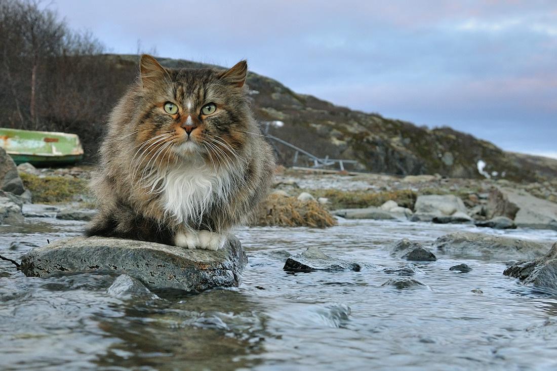 Полярный кот фотографии