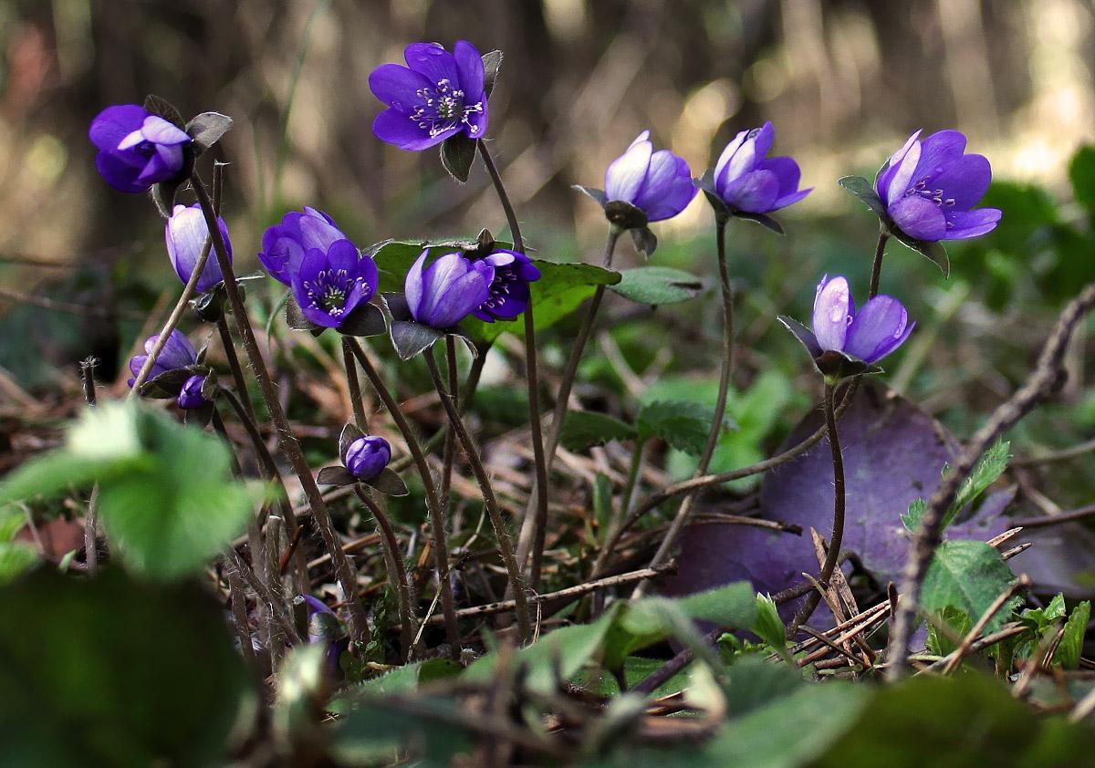 первые весенние лесные цветы фото и названия
