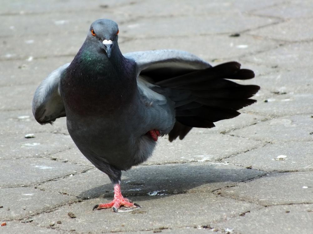 Фотки голубей приколы