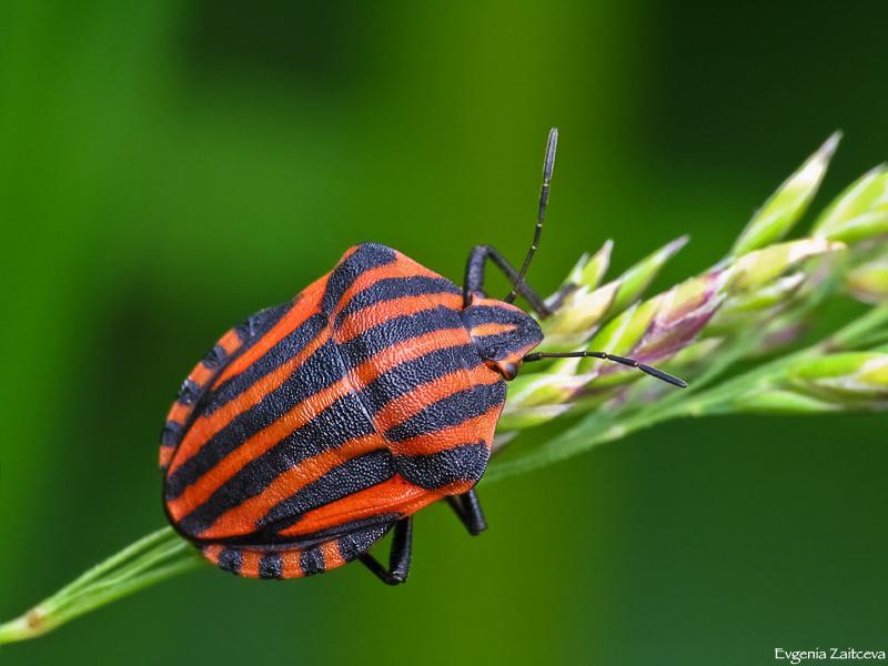 автором полосатый жук фото ассортимент высокое