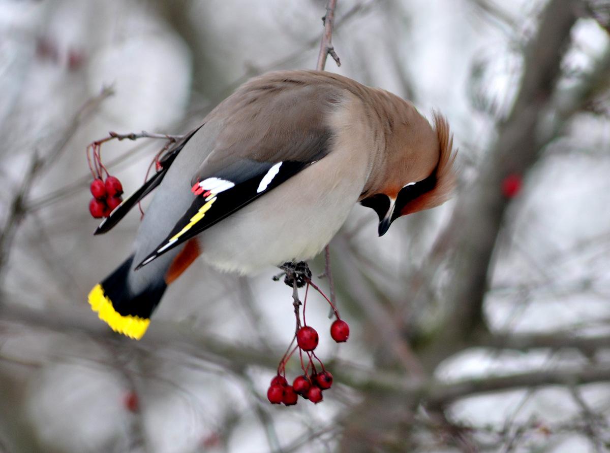 Зимние птички фото