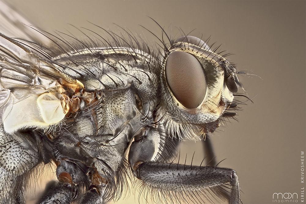 Картинка мухи под микроскопом