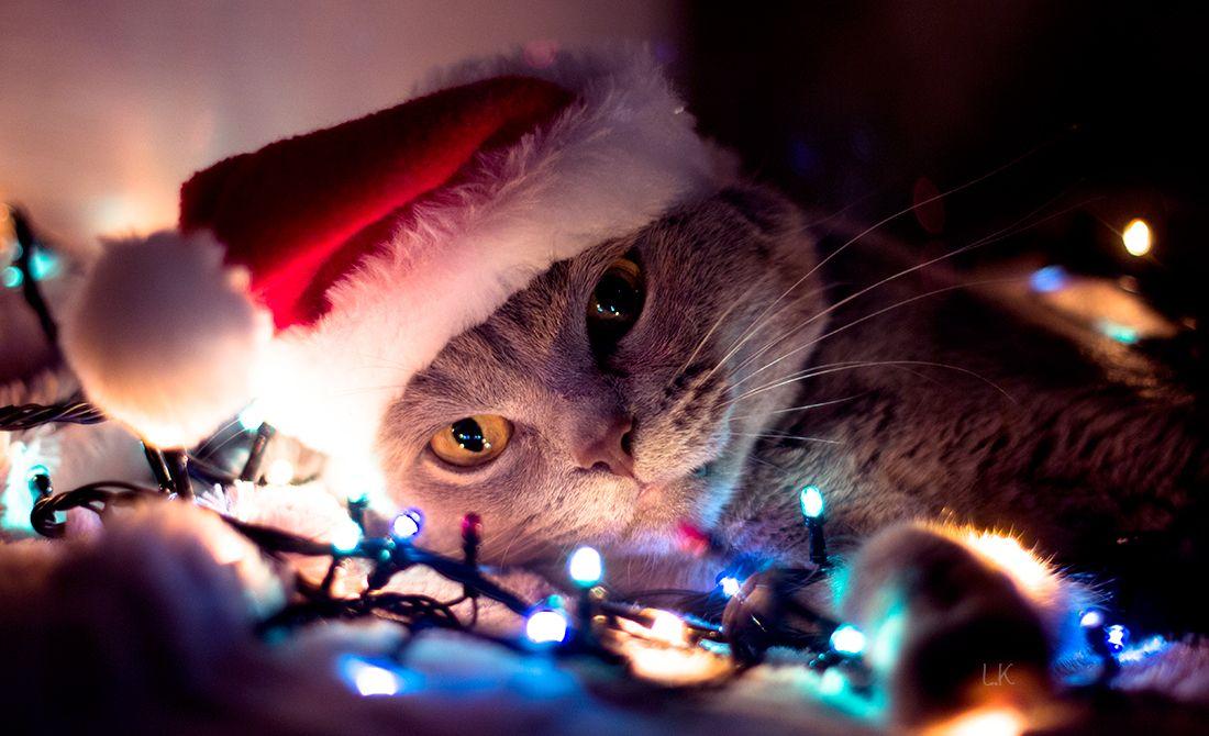 картинки новогодних котов на аву вошь, свою