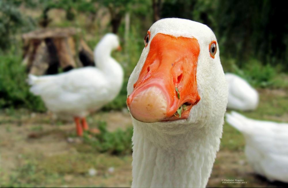 Смешные картинки, фотки смешного гуся