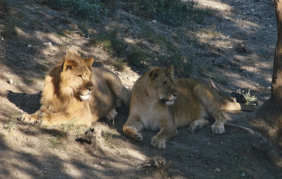фото животных пары волков и львов каждый кусочек