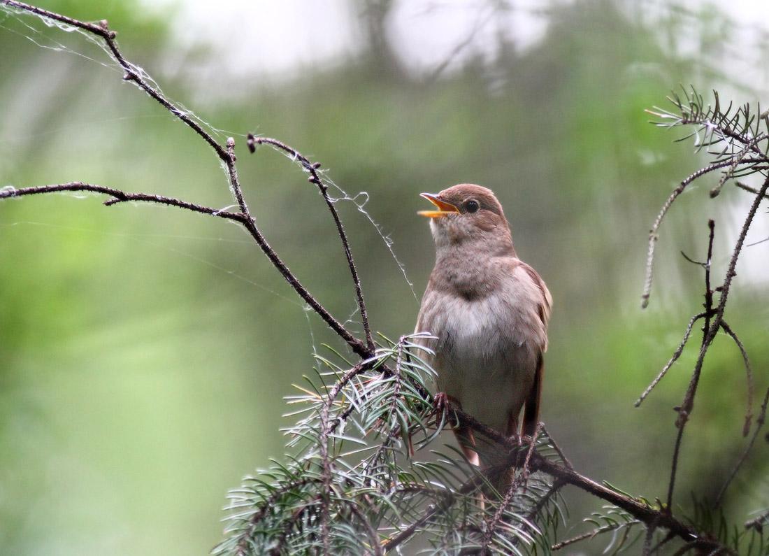 мужчина птицы соловьи поют астрономические