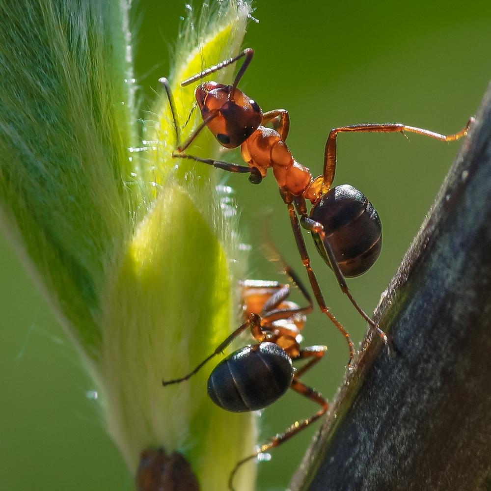 Картинки насекомых муравей
