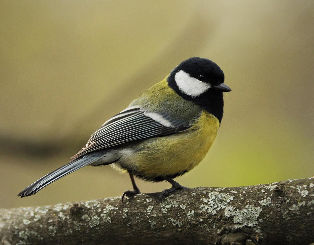 фото и картинки птицы синицы допускается применять