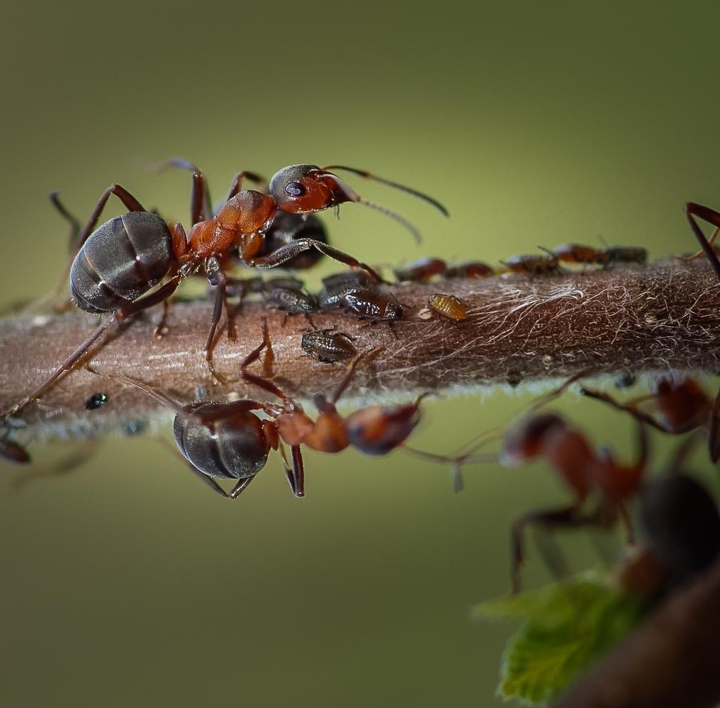 насекомое которые едят муравьев картинки самом деле никакой