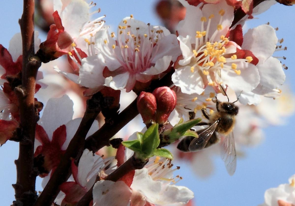 абрикос вишня в цвету фото детально витебском вам