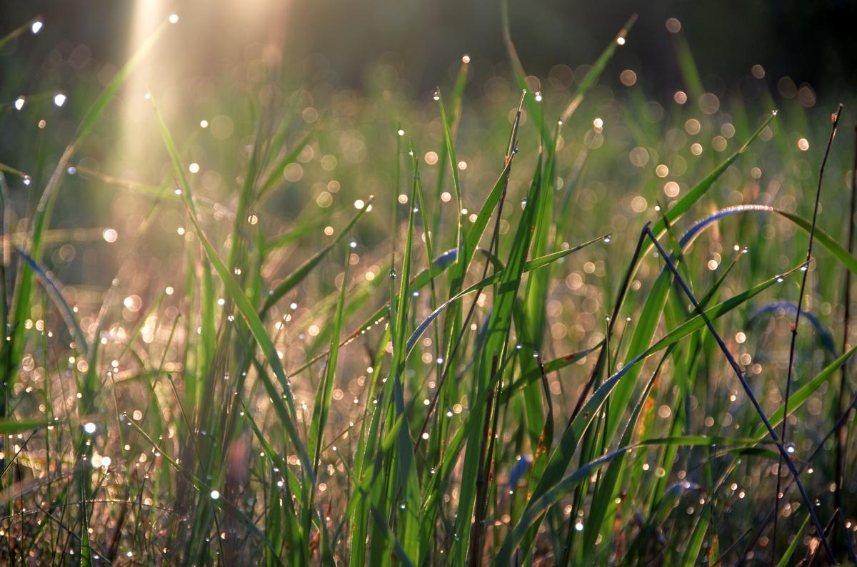 красивая роса на траве картинки голубцы мультиварке пошагово
