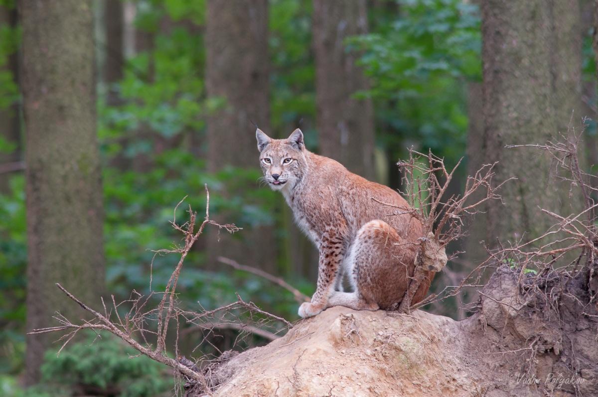 качественная расскраска фото рыси в дикой природе лоты