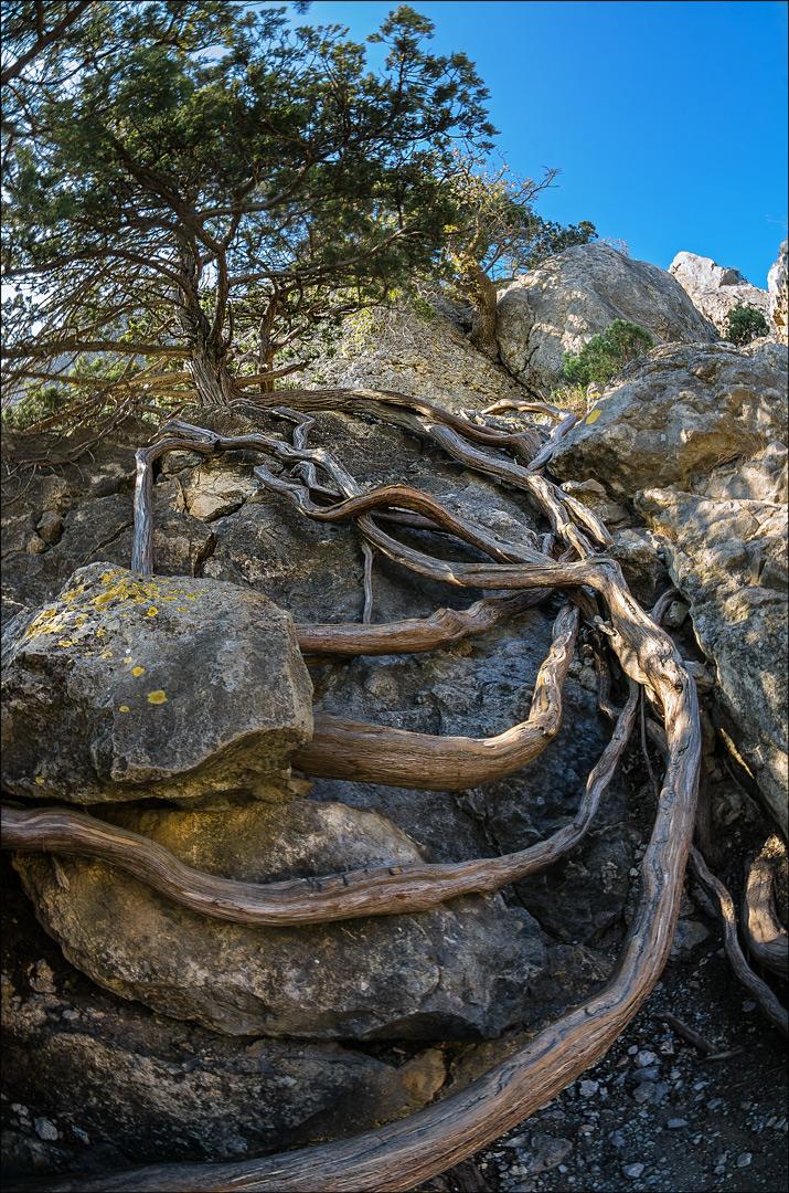 дерево растущее в камне фото если