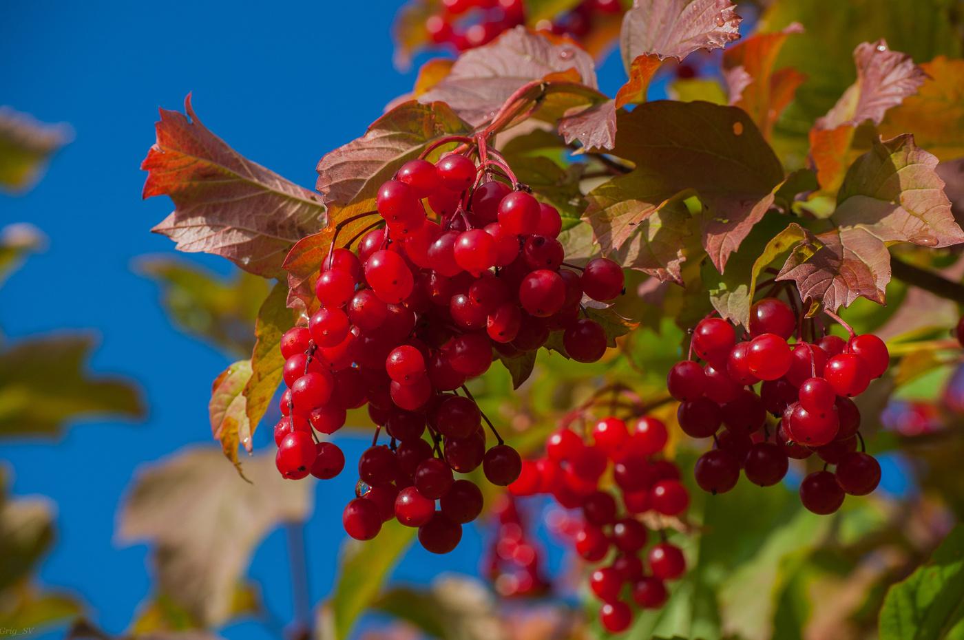 гроздья калины красивые фотографии
