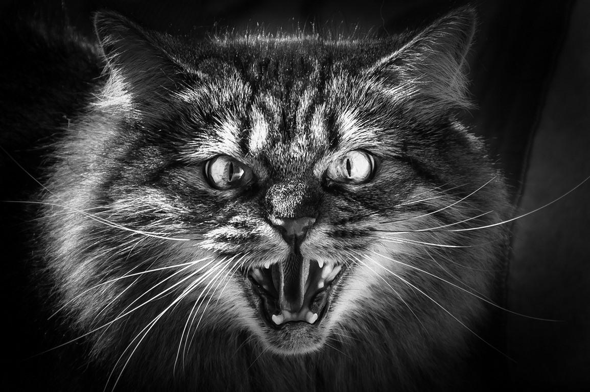 Открытка злой кошки