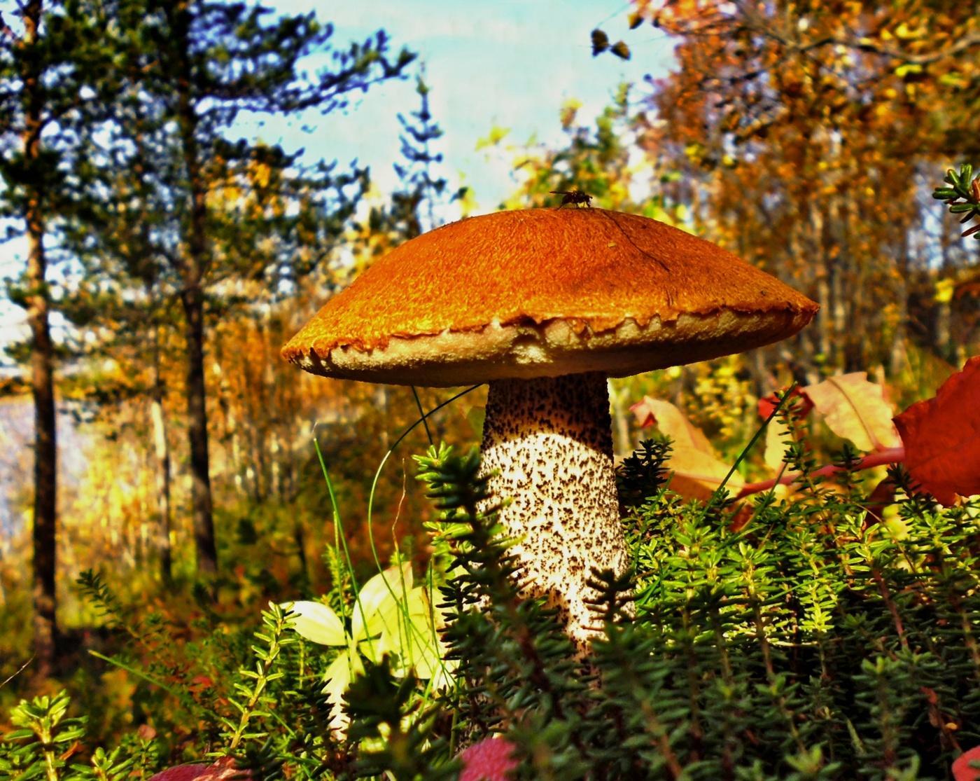 фото с грибами в лесу подосиновики еще, вам больше