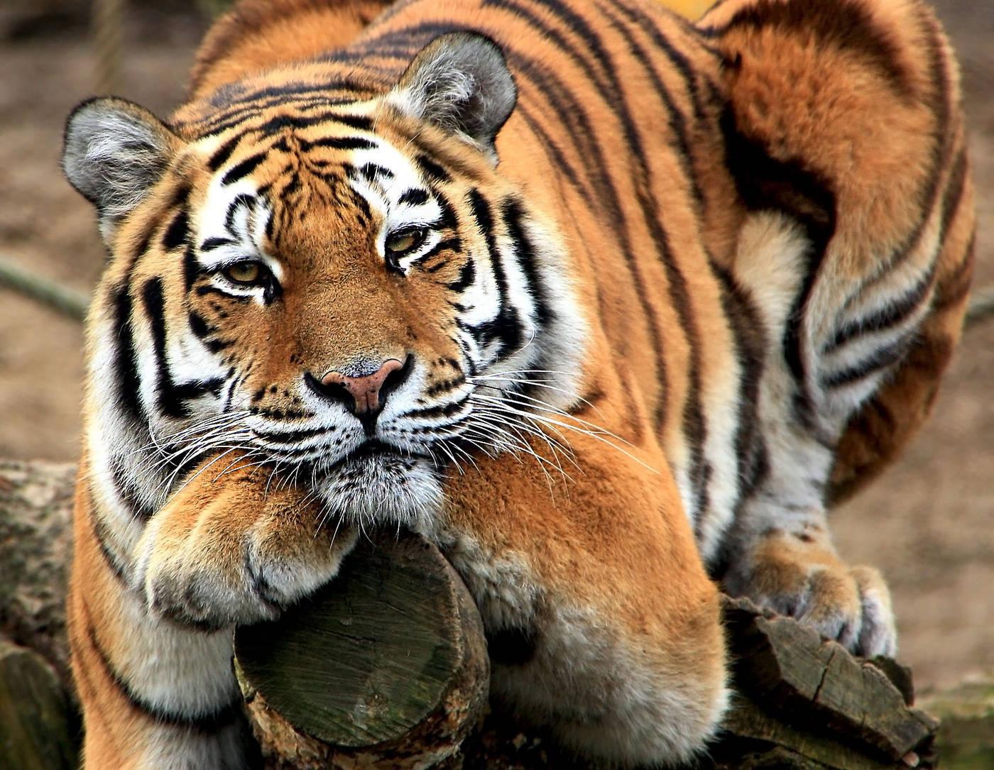 Для, прикольная картинка с тигром