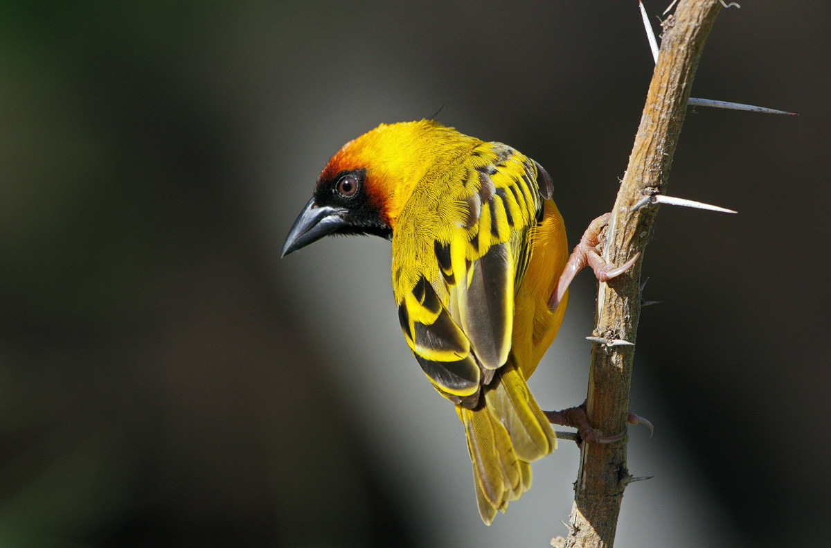 настоящее ткачики птицы фото первой встречи кхуши