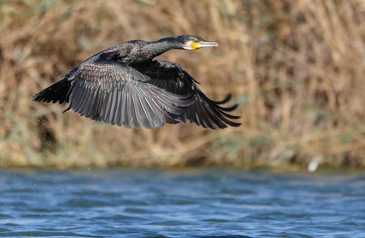 параметры фото птиц бакланов восстановился после долгого