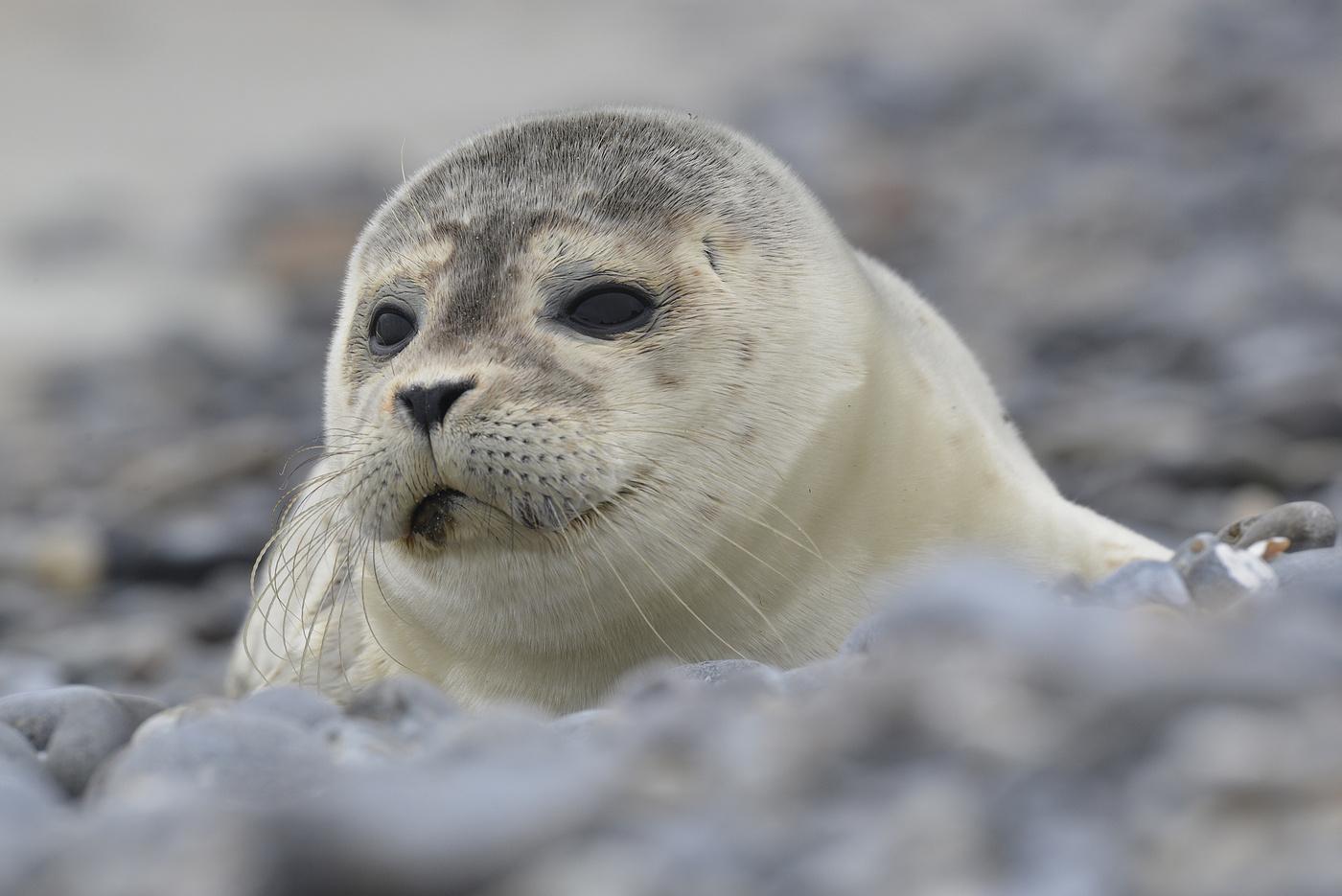 Мая своими, тюлень картинки фото