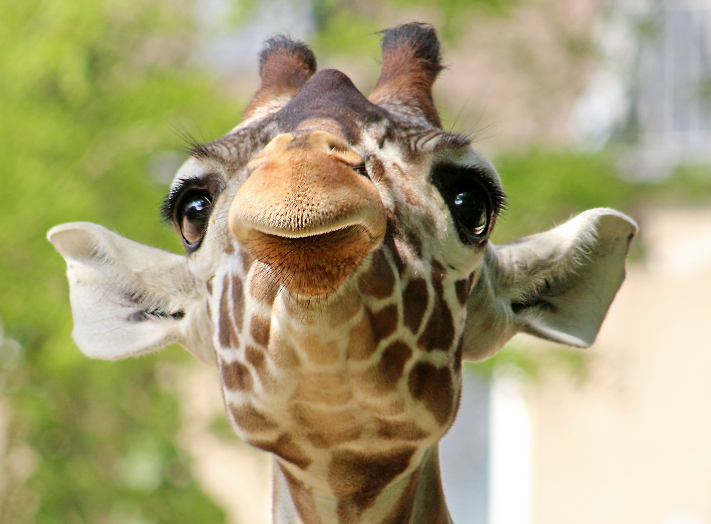 сторонку картинка жирафа веселая уши