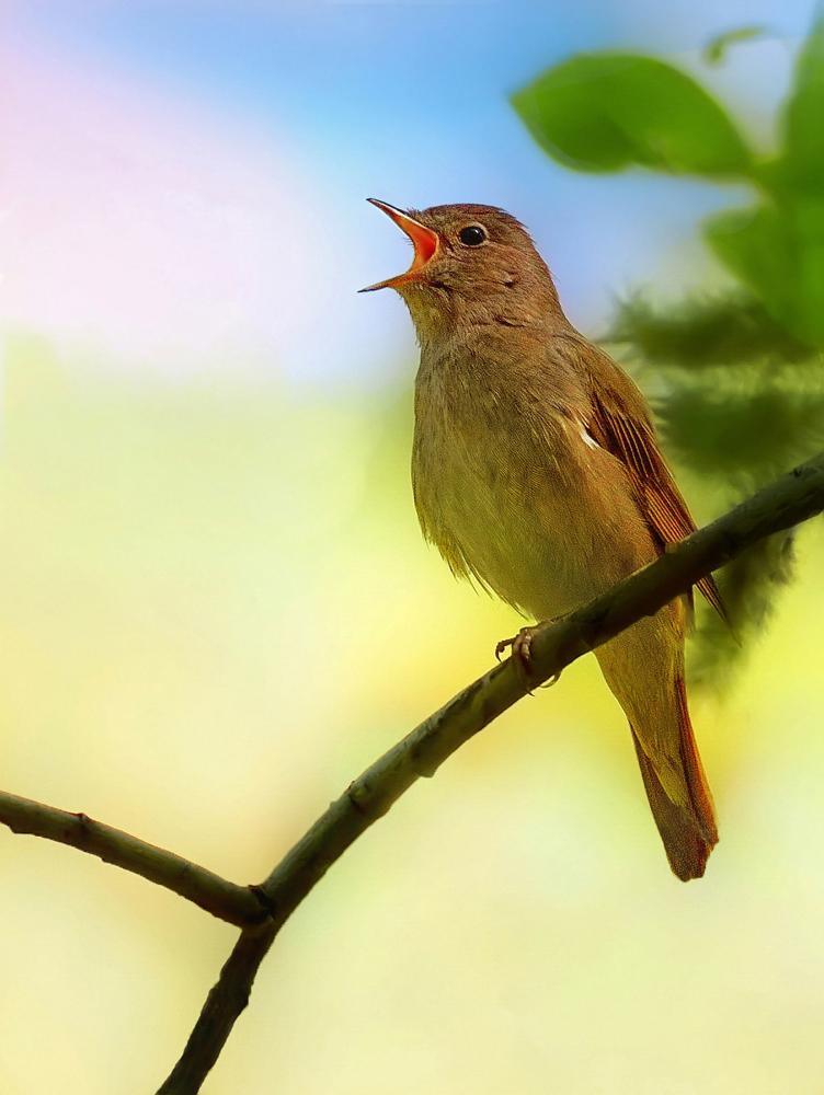 птицы соловьи поют изготавливаются специального эластичного
