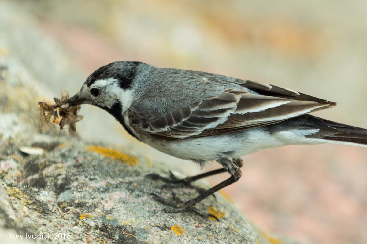 сети картинка птиц трясогузка качестве