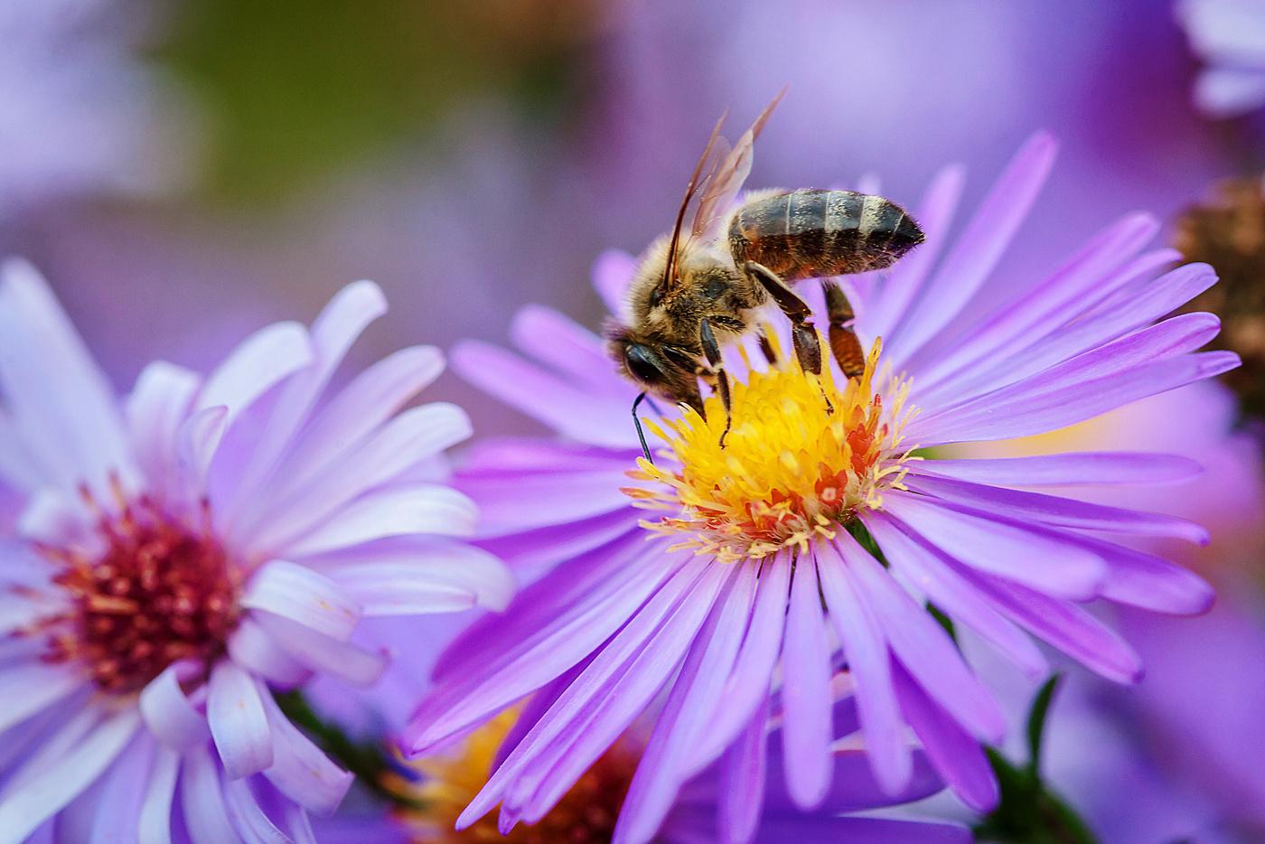 пчела на цветке фотография следующий день