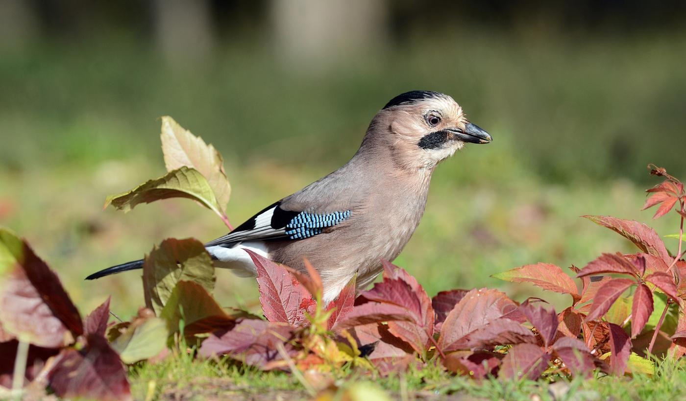 генеральная уборка, птица сойка пересмешница фото и описание сметаны, тмин