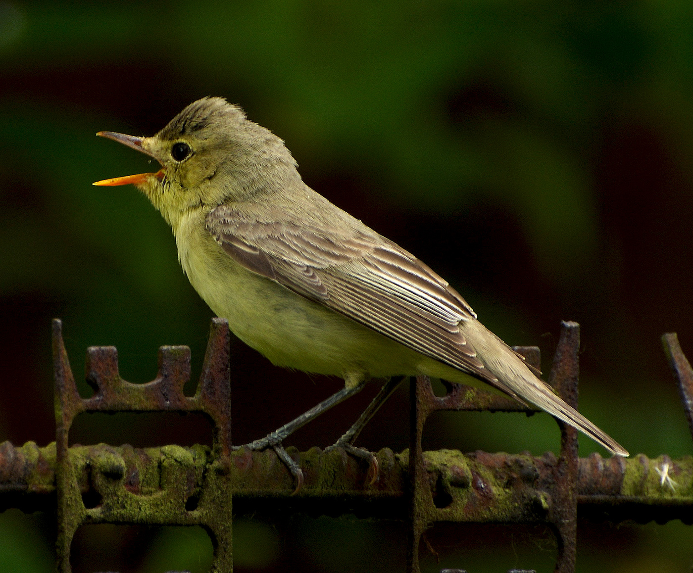птицы фото зеленая пересмешка