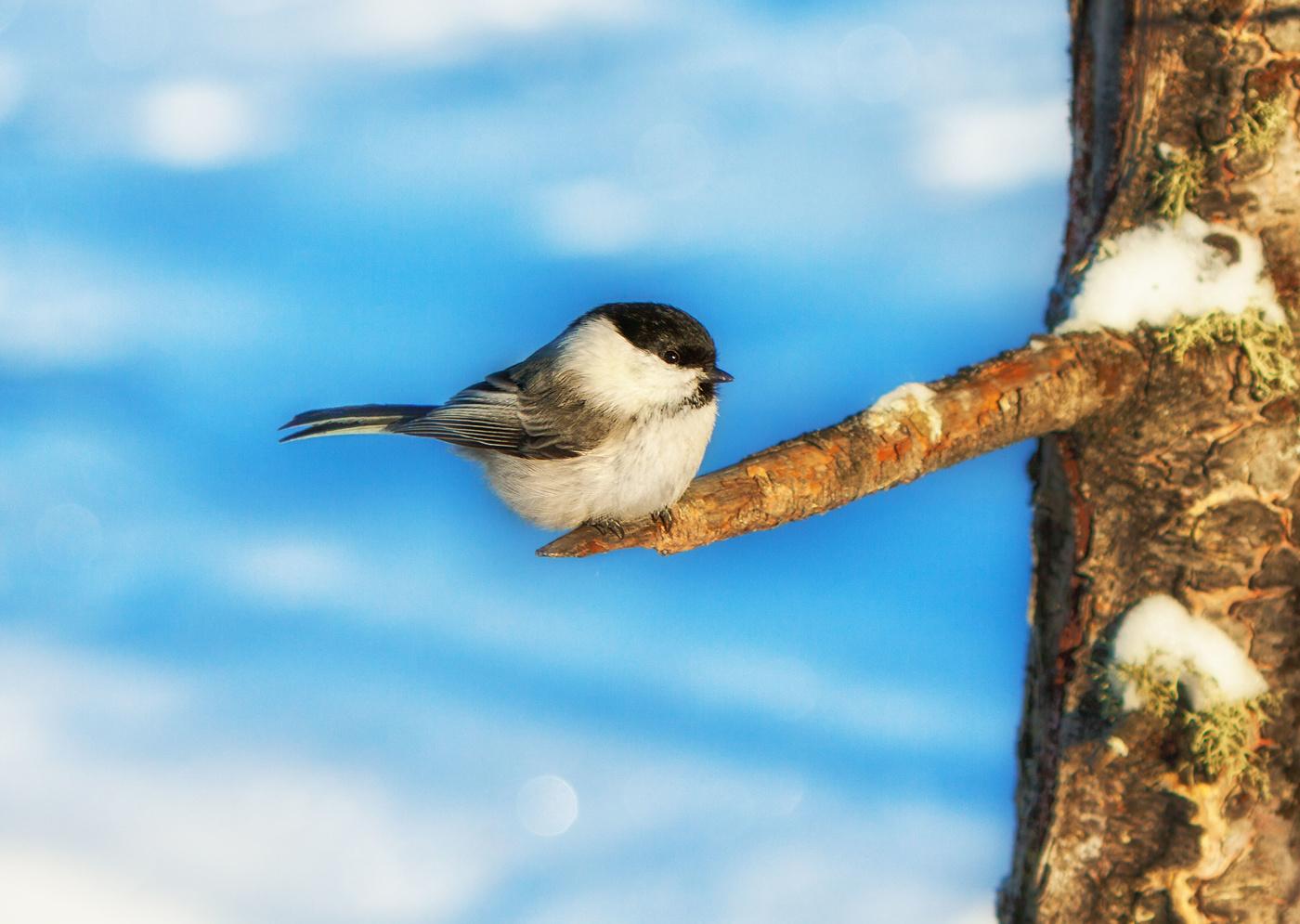 Птичка буроголовая гаичка картинка