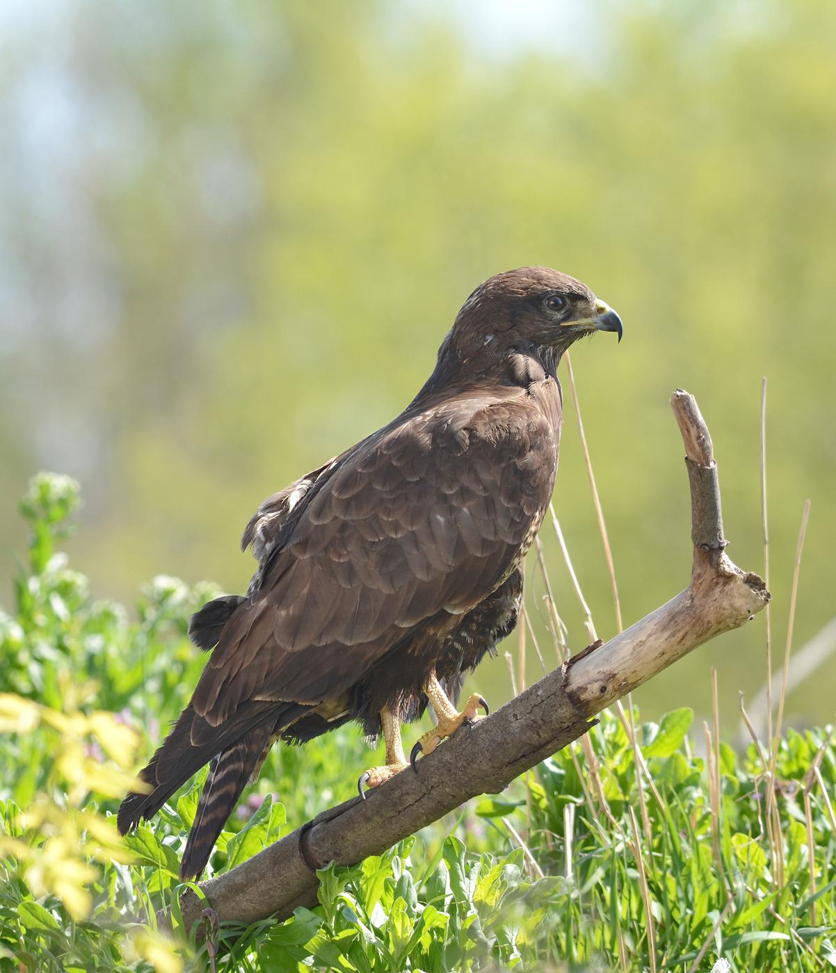 фото с названиями хищных птиц тверской области иногда
