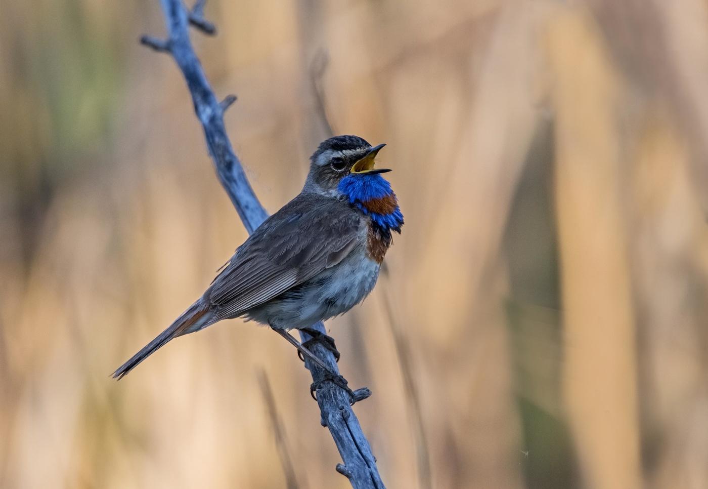Картинки варакушка птица